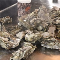 Coastal Virginia's Oyster Trail